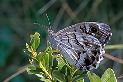 Hipparchia fidia - the Striped Grayling (BugsAlive) Tags: butterfly butterflies mariposa papillon farfalla schmetterling бабочка animal outdoor insects insect lepidoptera macro nature nymphalidae hipparchiafidia stripedgrayling satyrinae wildlife ardeche plateaudesgras stremèze liveinsects france