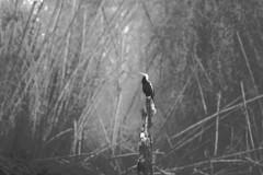 snake head bird in Nagarhole national park (LaylaLee) Tags: park india national gandhi karnataka rajiv