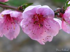 Marie Laure (Domi Rolland ) Tags: france nature fleur rose marie bonheur printemps laure tendresse douceur aveyron midipyrénées creissels