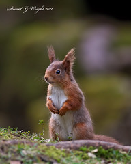 Red Squirrel (Stuart G Wright Photography) Tags: uk red squirrel