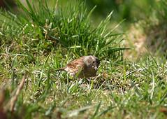 Heckenbraunelle Prunella modularis frisst Vogelfutter im Garten in Merlau, NGID1444302371 (naturgucker.de) Tags: deutschland hessen prunellamodularis heckenbraunelle naturguckerde cevamariakalok merlau dorfbereich ngid1444302371