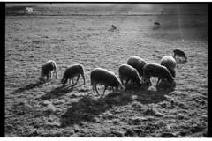 some sheeps (don_philippe) Tags: blackandwhite film animals backlight analog 35mm schweiz switzerland tiere bessa luzern rangefinder hp5 r3a schwarzweiss lucerne sheeps ilford voigtlnder gegenlicht schafe messsucher