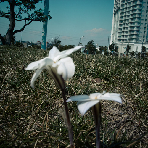 Spring Renewal in the Dust, Urayasu 2011