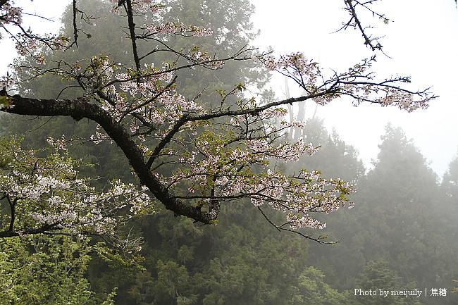 阿里山櫻花季陰天版39