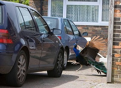 animals_attacking_cars_08 (1)