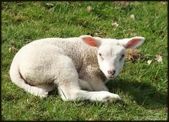 Lammetje ! (ditmaliepaard) Tags: de spring lamb wei lente soe picnik in lammetje