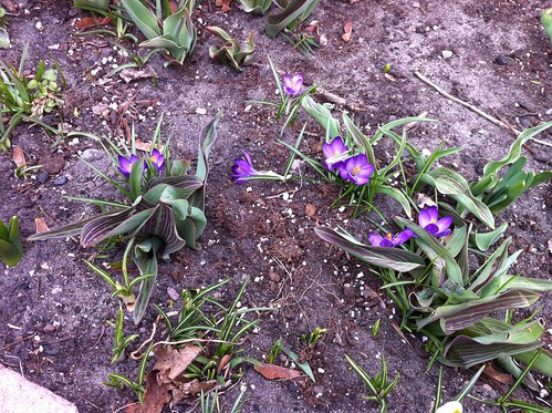 first crocuses! by unglaubliche caitlin
