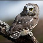 Saw-whet owl 8