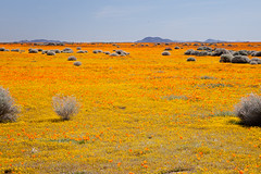 Poppies for Miles (Jeffrey Sullivan) Tags: california park flowers copyright usa canon state photos reserve southern poppy antelope lancaster april wildflowers wildflower 2011 5dmk2 springwildflowertrip