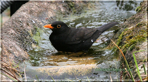 Pond Visitor - Male Blackbird