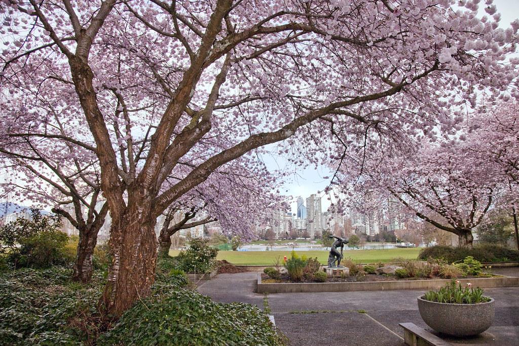 Sakura @ Vancouver Museum 3