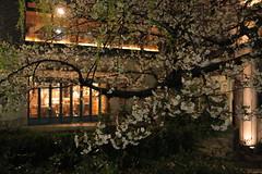 IMG_5041 (Hiro - KokoroPhoto) Tags: pink light up japan night cherry japanese kyoto blossoms illumination illuminated   sakura cherryblossoms lightup kiyamachi   2011