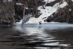 _MG_7618 Great Blue Heron (~ Michaela Sagatova ~) Tags: winter bird nature water dundas greatblueheron ardeaherodias birdphotography dvca michaelasagatova