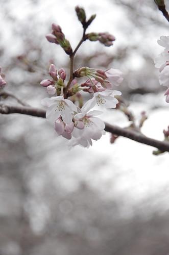 Slow Sakura