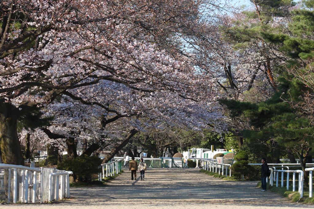 Sakura Photo 2011Bajikouen (11)