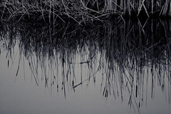Morning Reflections (Sharon Drummond) Tags: bw ontario canada reflection water reeds nationalpark alone cattails pelee challenge marshland pointpelee saturdaymorning southwestern scavenge ungodlyhour okcrowwasrightitreallywasrelaxing scavchal
