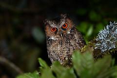 Luzon Scops Owl (Otus longicornis) (Bram Demeulemeester - Birdguiding Philippines) Tags: luzon otus fbwnewbird mountdata bramdemeulemeester luzonscopsowl otuslongicornis birdguidingphilippines philippinesbirdingtours
