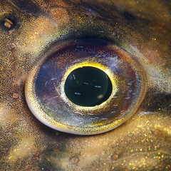 Peyeke of the season (Esox lucius) (Arne Kuilman) Tags: fish detail macro eye night nikon nacht diving esoxlucius 60mm pike vis freshwater oog nightdive subadult snoek spiegelplas nachtduik d80 14xteleconverter europeanpike esocidae jongesnoek salmoniormes