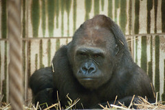 What's really human? (Marcello Seri) Tags: portrait face look eyes gorilla humanity human strong tiergarten nrnberg