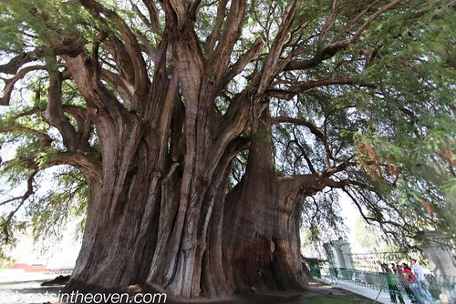 El Tule - a spectacular ancient tree
