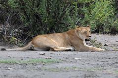 Lioness Lake Ndutu