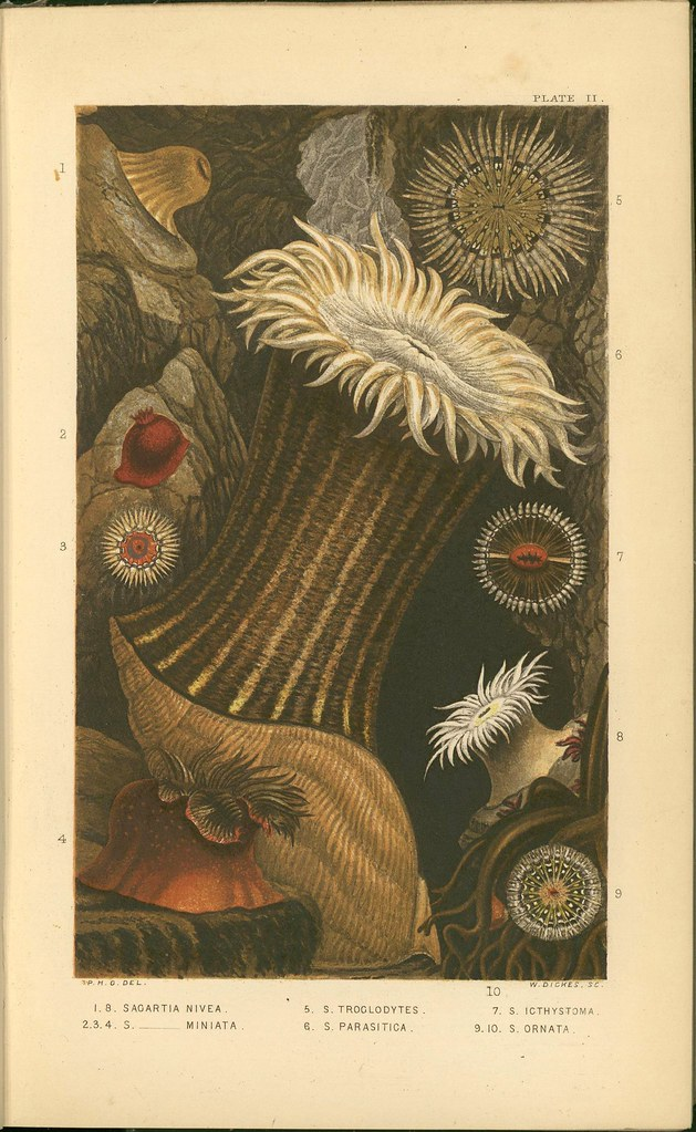 sea anemones - book illustration