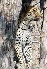 leopardoelrincondeselebotswana