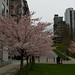 Cerisiers en fleur par temps gris