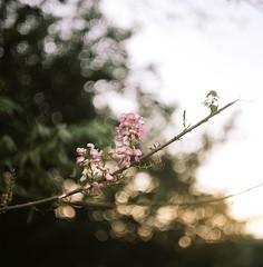 花 (Ifitis) Tags: light red white flower 120 film mediumformat kodak bokeh tl malaysia pentacon six p6 pentaconsix czj 160nc