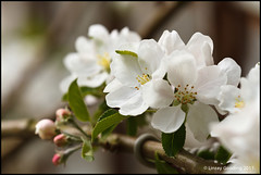 Apple Blossom [97/365] (LittleCottage Images) Tags: canon eos 7d canon70200f4l 2011 canonef70200mmf4lusm canoneos7d