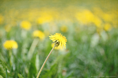 dandelion  by life stories photography