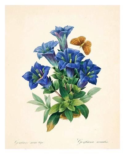 012-Genciana azul-Choix des plus belles fleurs…1827- P.J.Redoute