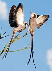 [フリー画像] 動物, 鳥類, フキナガシタイランチョウ, カップル (動物), 201104200700