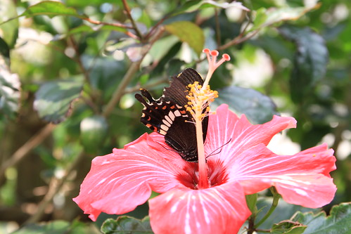 black & red butterfly - ClubMed Kabira Press Tour