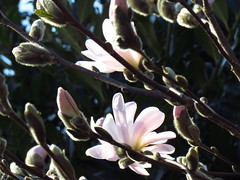 New beginning (Ameliepie) Tags: new flower color leaves season spring april magnolia bud newbeginning 2011