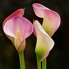 Calla Lily (njchow82) Tags: pink plant flower nature closeup callalily onblack exquisiteflowers awesomeblossoms exceptionalflowers njchow82 dmcfz35
