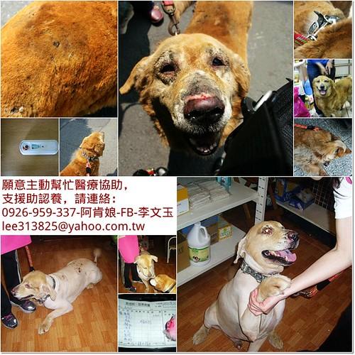 「支援助認養」新竹逃離火災後被遺棄的黃金獵犬皮皮,和一眼萎縮的雪那瑞,還在住院中,需要中途醫療資源助認養,20110421