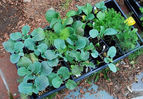 Brassica Transplants