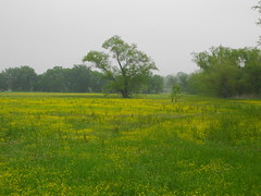 a field of Texas wildflowers