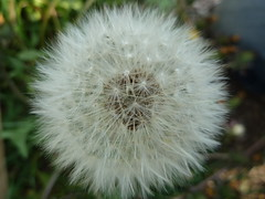 "Dandelion seeds • <a style=""font-size:0.8em;"" href=""http://www.flickr.com/photos/61957374@N08/5644096220/"" target=""_blank"">View on Flickr</a>"