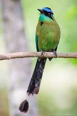 Blue-crowned Motmot (Julie Lubick) Tags: travel wild color green bird tourism nature ecology beautiful animal vertical outdoors rainforest costarica colorful quiet bright outdoor unique wildlife tail feather peaceful calm breeding tropical environment serene wilderness habitat ornithology tropics tranquil avian raquette soothing centralamerica motmot plumage bluecrownedmotmot momotusmomota