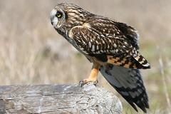 Stretching (Paridae) Tags: birdsofprey birdsofbritishcolumbia birdsofboundarybay shortearedowlowl