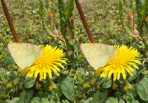 Colias erat, stereo parallel view