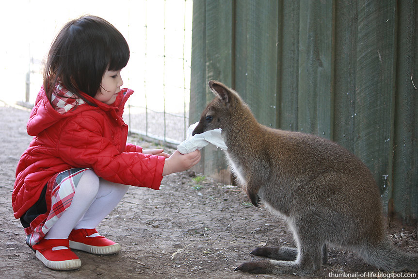Friendly wallaby