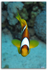 Red Sea Anemonefish A152060 (David Whistlecraft) Tags: fish canon underwater redsea flashphotography scubadiving marinelife g12 underwaterphotography seasea marinefish landscapeformat underwaterimages southernredsea padidiver seaseays27dx wpdc34housing canonwpdc34 canong12 g12underwaterhousing canong12underwaterhousing