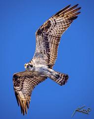 Osprey Flying Over Blue Cypress Lake (Captain Kimo) Tags: digital photoshop highdynamicrange osprey hdri photomatix hdrphotography singleexposurehdr hdrphotos bluecypresslake topazadjust