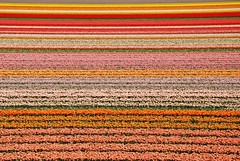 Tulip field near Lisse, Netherlands (Dragos Cosmin- Getty Images Artist) Tags: tulipfield lisse netherlands amsterdam europe flowers keukenhof kitchengarden gardenofeurope flowergarden flowerbulbs tulip tulipfiend tulips nikon europa lalele red rosu galben yellow orange portocaliu land camp explore explored nederlandene nederland alankomaat paysbas niederlande   hollandia paesi bassi paises baixos bajos nederlanderna holandia    sell photos travel publicity selling high quality traveling photo image buy my google yahoo getty