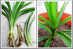 Propagating Pandanus amaryllifolius (Fragrant Pandan): young plant separated for replant. Shot April 20 2011
