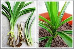 Propagating Pandanus amaryllifolius (Fragrant Pandan): young plant separated for replant. Shot April 20 2011