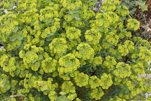 Euphorbia helioscopica, Torcal de Antequera